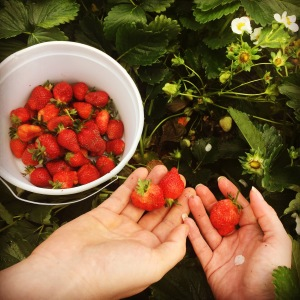 I could eat my weight in strawberries! Picking our own at Mountain Meadows Farm.